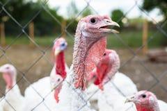 Turkey on a farm , breeding turkeys. White turkey portrait. Flock of Turkeys at the farm. Pasture raised turkey on a farm Royalty Free Stock Photo
