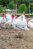 Turkey on a farm , breeding turkeys. Royalty Free Stock Image