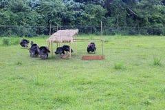 Turkey farm. S at wulaokeng scenic areas, yilan county, taiwan stock photography
