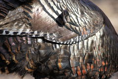 Turkey Feathers Royalty Free Stock Images