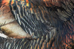 Turkey feathers rainbow metallic background Royalty Free Stock Photo