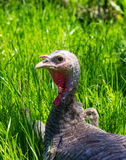 Turkey. A female turkey in a field with her offspring Royalty Free Stock Photos