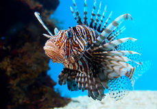 Turkey Fish or 'Pterois Volitans'. This is a Turkey Fish or 'Pterois Volitans' - photographed in an aquarium Stock Photo