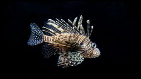 Turkey Fish or Pterois Volitans Stock Image