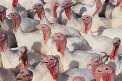 Turkey flock Royalty Free Stock Image