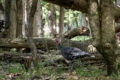 Turkey In Forest. Wild turkey walking around forest in Autumn. Galliformes Phasianidae Stock Image