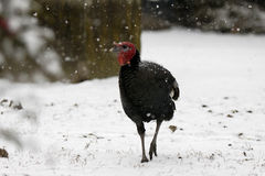 Turkey go to snow Stock Photos