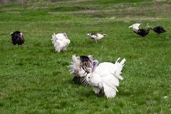 Turkey or gobbler grazing on a green grass background.  Stock Photography