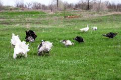Turkey or gobbler grazing on a green grass background.  Royalty Free Stock Photo