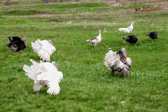 Turkey or gobbler grazing on a green grass background.  Stock Image