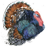 Turkey graphics, turkey illustration with splash watercolor textured background. illustration watercolor Thanksgiving Stock Photos