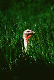 Turkey in grass. Turkey walking in tall grass Royalty Free Stock Photos