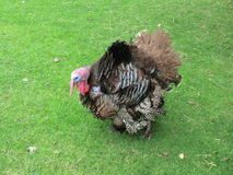 Turkey on grass Royalty Free Stock Images