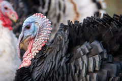 Turkey graze close up in the village Royalty Free Stock Photo