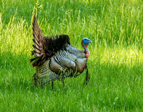 Turkey Great Smoky Mountains National Park. In Cades Cove Royalty Free Stock Photography