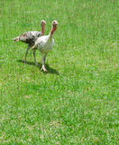 Turkey in green grass on sunny afternoon Stock Image