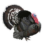 Turkey. Hand drawn vector illustration of a male turkey showing off its beautiful plumage.White background, highly detailed realistic representation Stock Photo