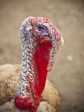 Turkey head Stock Photos