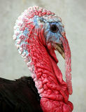 Turkey Head  Royalty Free Stock Photo