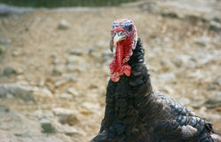 Turkey head Stock Photography