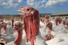 Turkey head Royalty Free Stock Photos