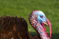 Turkey Head. Free Range male turkey showing his colors and long beak cover and ruffled feathers Stock Photography