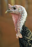Turkey head Stock Image