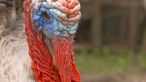 Turkey the head opened beak slow motion video. Closeup of a turkey's beak opened angry bird slow motion video stock video