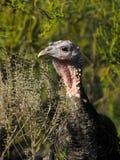 Turkey hen Stock Images
