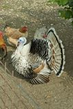 Turkey Stock Photography