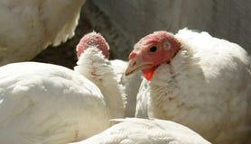 Turkey hen Royalty Free Stock Photo