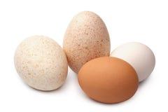 Turkey and hen`s eggs Stock Photos