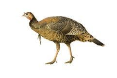 Turkey hen or very young jake strutting Stock Photos