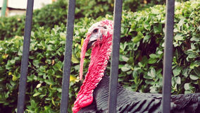 Turkey in jail. Turkey at house garden watching the street Royalty Free Stock Photo