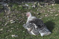 Turkey Laying On the  grass Bird Royalty Free Stock Images