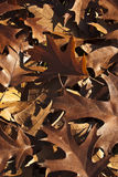 Turkey leaves background. Warm brown leaves vertical background Stock Photos