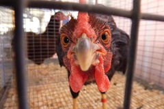 Turkey looking from a cage. Funny turkey looking at the camera Royalty Free Stock Photos
