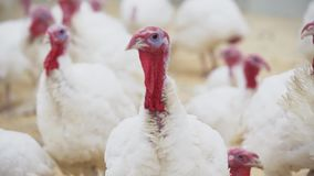 Turkey looks at other turkeys in confusion around room at poultry farm. Turkey with white feathers and red small appendage looks at other turkeys in confusion stock footage
