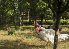 Turkey is making sound on a small farm. White broad breasted   turkey is making sound on a small farm Royalty Free Stock Photography