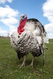 Turkey male or gobbler closeup on the blue sky background.  Royalty Free Stock Photos
