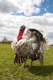 Turkey male or gobbler closeup on the blue sky background.  Stock Images
