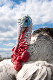 Turkey male or gobbler closeup on the cloudy sky background.  Royalty Free Stock Photo