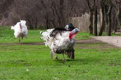 Turkey male or gobbler grazing on a green grass background Royalty Free Stock Image