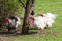 Turkey male or gobbler grazing on a green grass background.  Stock Image