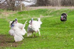 Turkey male or gobbler grazing on a green grass background.  Royalty Free Stock Photography
