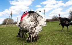 Turkey male or gobbler in the village.  Stock Image