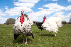 Turkey male or gobbler in the village.  Stock Photography