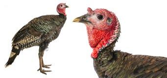 Turkey Meleagris gallopavo f. domestica Stock Photography