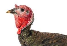 Turkey Meleagris gallopavo f. domestica Stock Photos