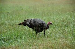 Turkey (Meleagris gallopavo) Royalty Free Stock Image